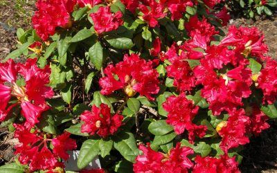 Memorial Day Rhodedendrons